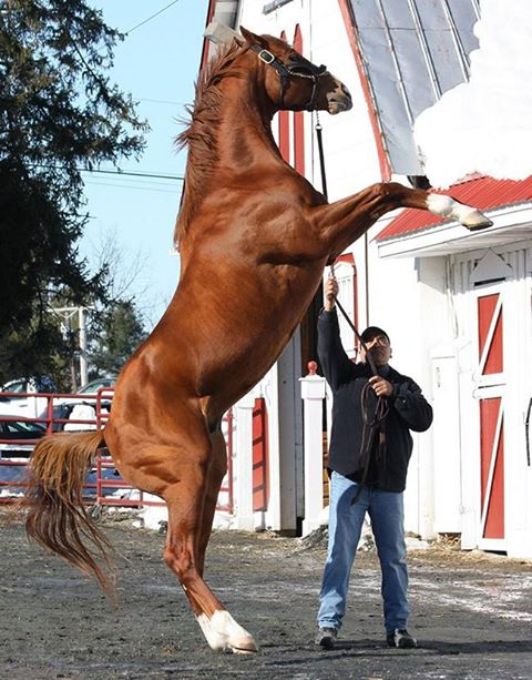 Reaching high heights with stallion manager Jerry Zavala on the rein.