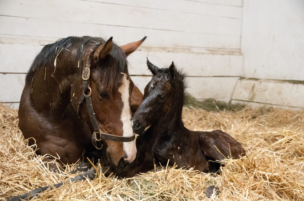 Newborn foal snuggling with mom.