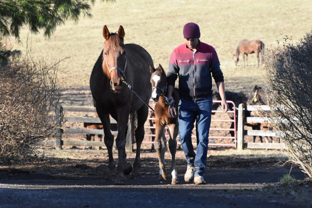 Mares and foals are handled and led daily, teaching them good manners.