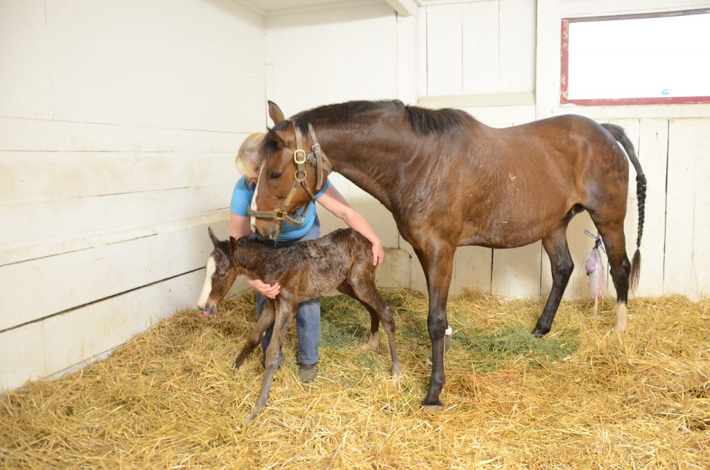 Every birth is attended by at least 2 people, and we stay with the mare and foal until it's up and nursing.
