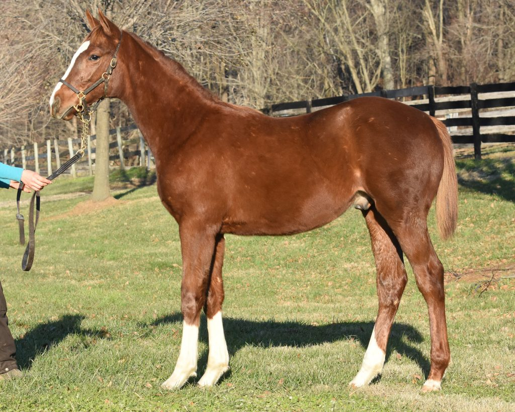 18 Maid of Cotton colt