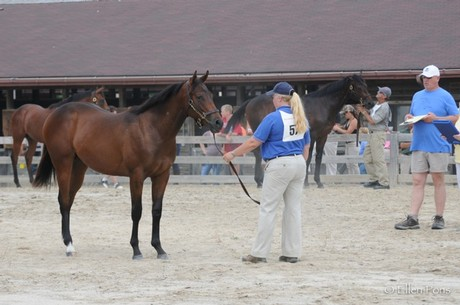 Sagamoon's son Bunky at the 2013 MHBA Yearling Show - he was awarded a 3rd place ribbon in his class by judge Ken McPeek