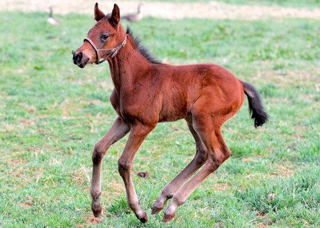 Friesan Fire's first foals include this colt out of Sultry Katrina.