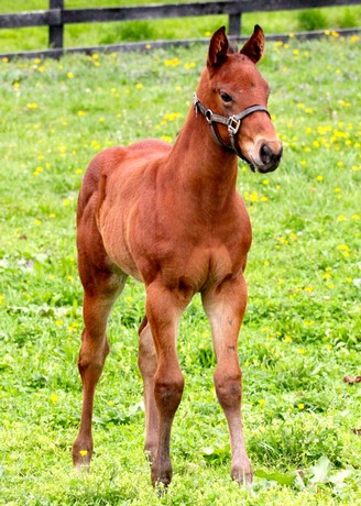 Friesan Fire's first foals include this colt out of Meg's a Lady.