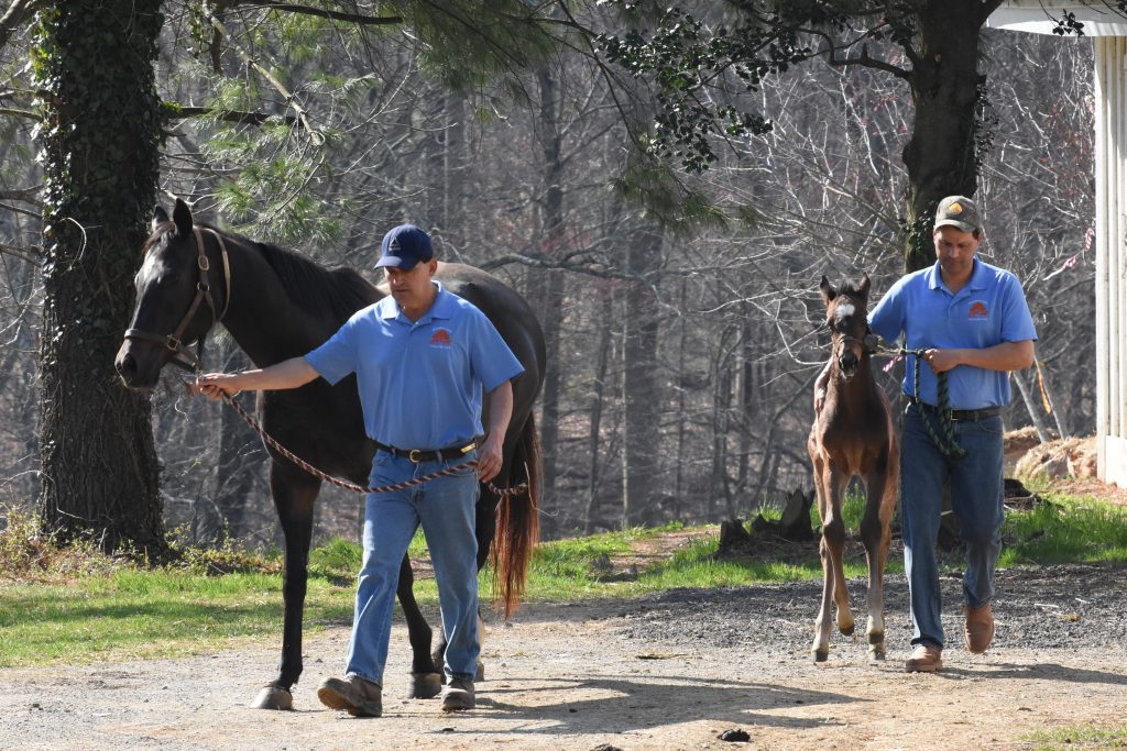 Foals learn to lead with a handler.