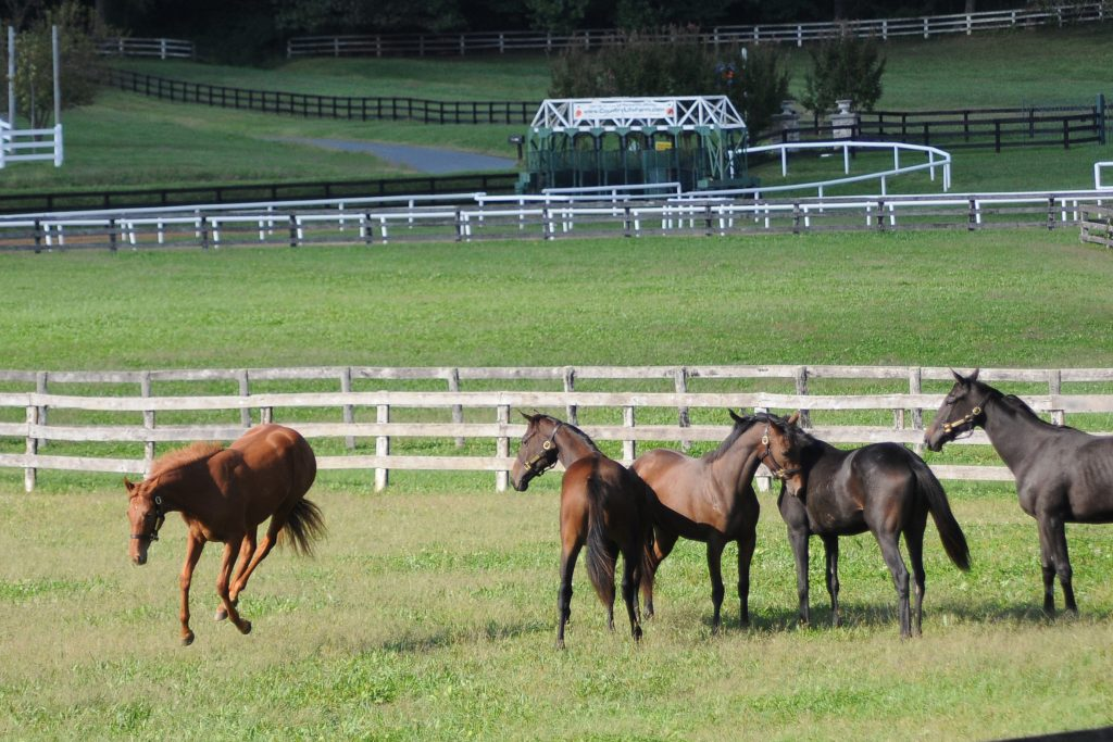 Yearlings at play.